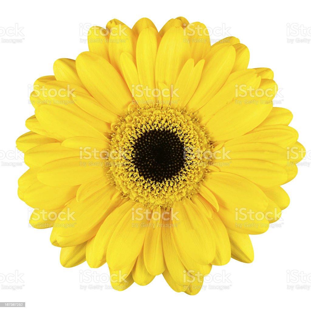 Beautiful Yellow Gerbera Flower Macro Isolated on White royalty-free stock photo