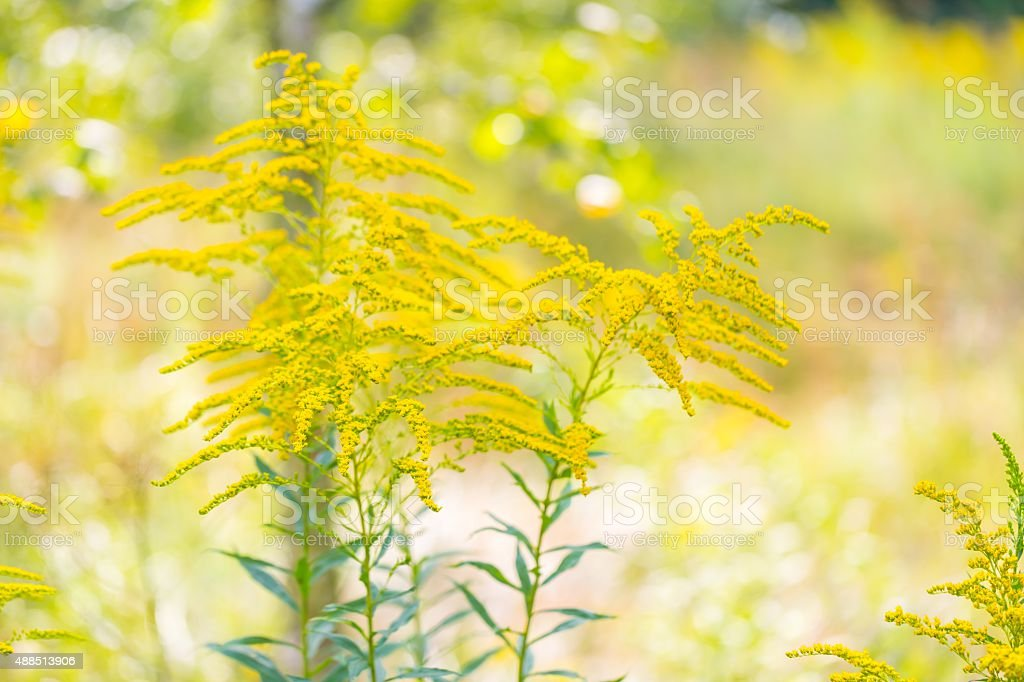 Beautiful yellow goldenrod flowers blooming stock photo