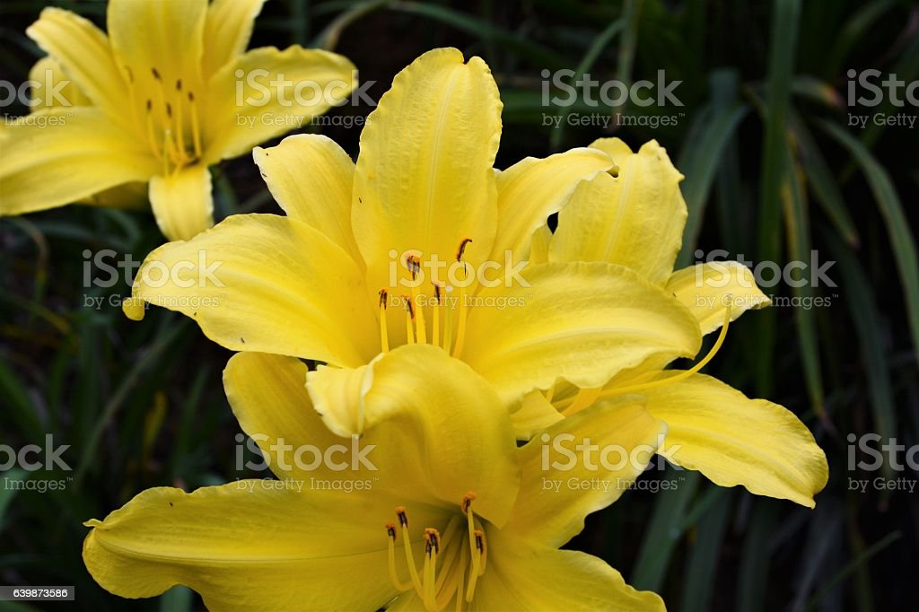 Beautiful yellow hemerocallis stock photo