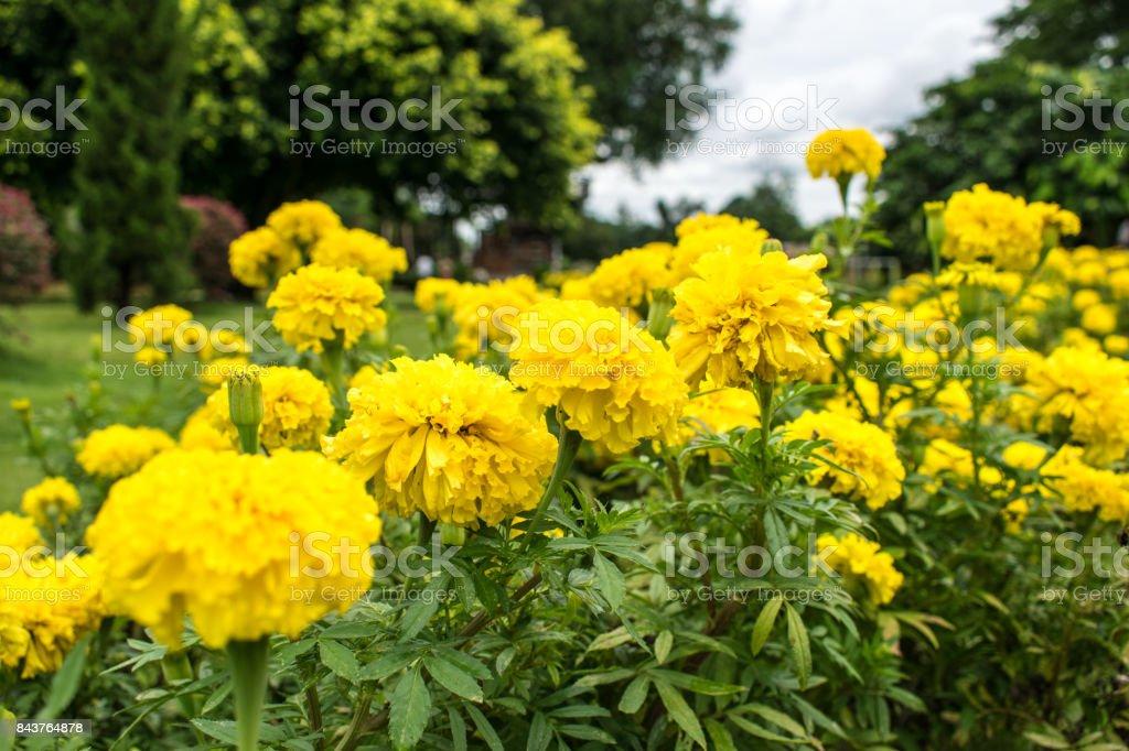 Beautiful yellow marigold stock photo