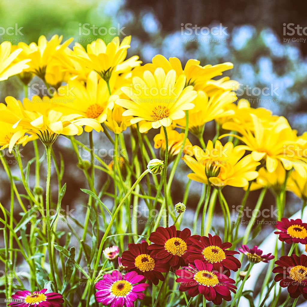 Beautiful yellow Osteospermum and red Anthemis flowers blossoming bouquet close-up stock photo