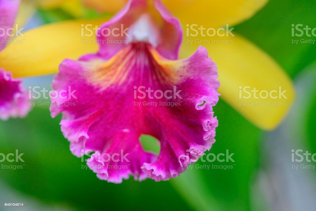 Beautiful yellow pink orchid flowers closeup stock photo