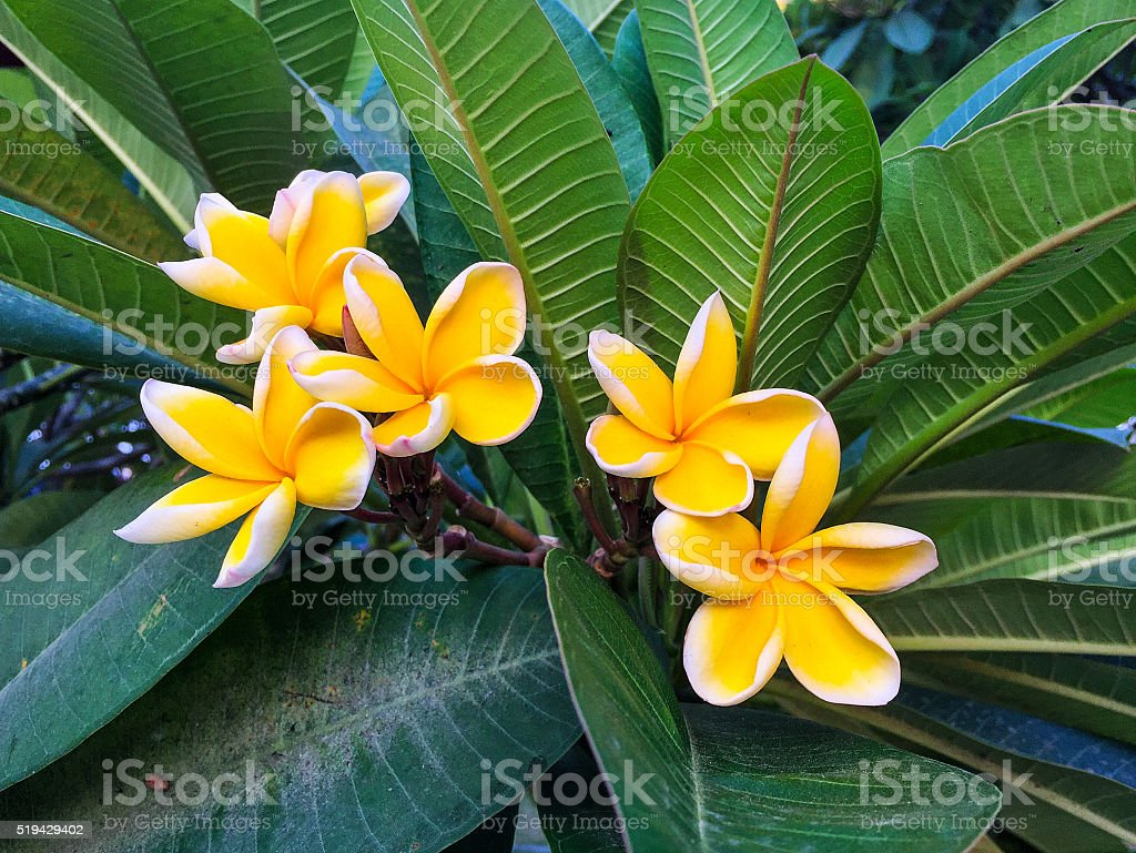 Beautiful yellow plumeria flower stock photo