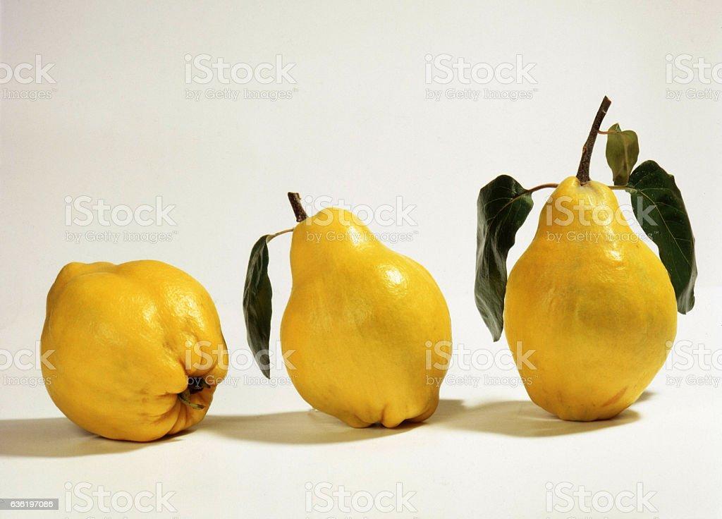 beautiful yellow quinces stock photo
