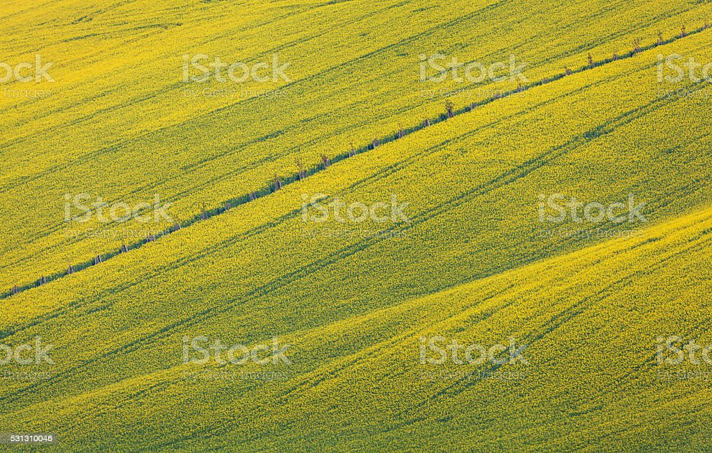 Beautiful yellow rapeseed fields in South Moravia stock photo