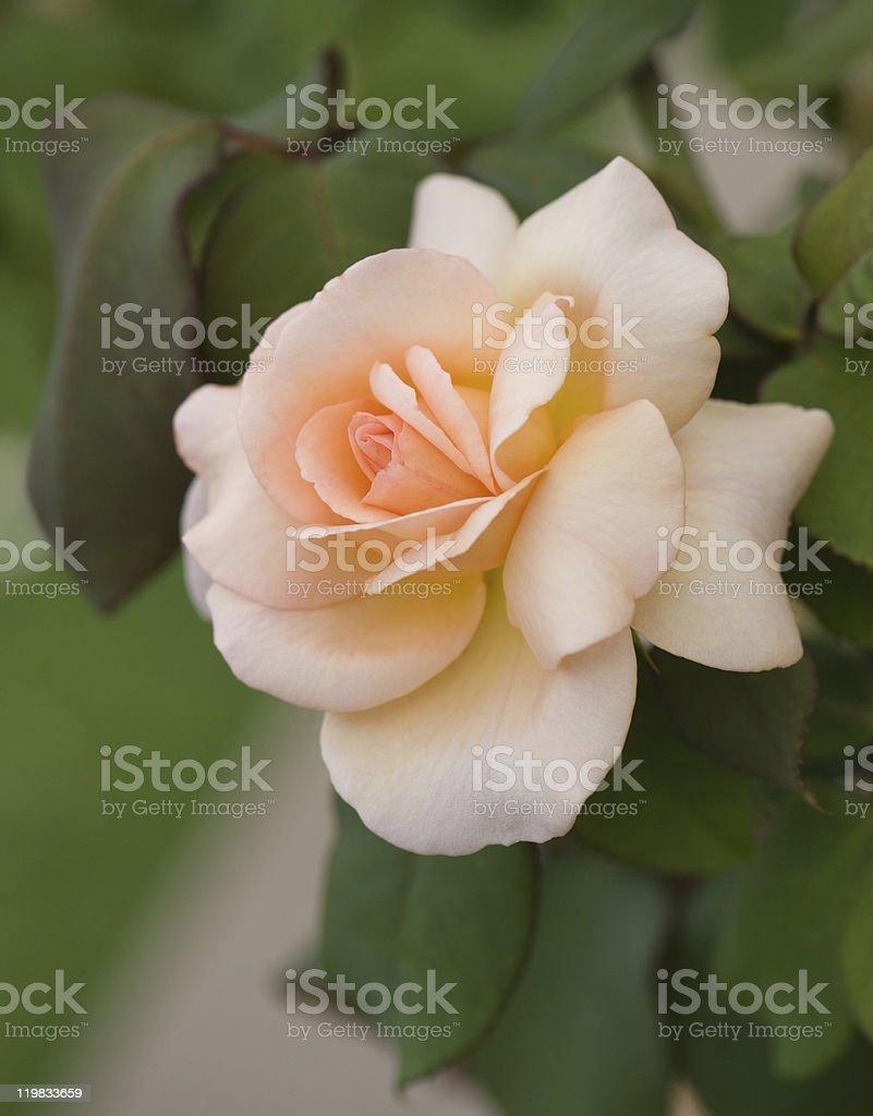 Beautiful yellow rose royalty-free stock photo