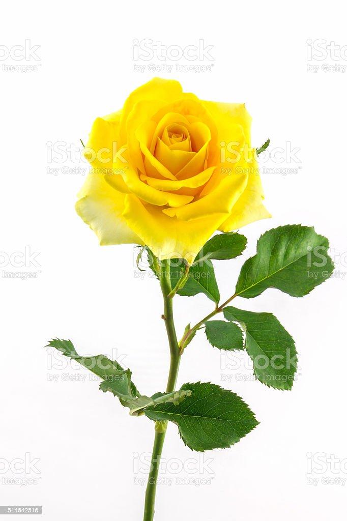 Beautiful yellow rose. stock photo