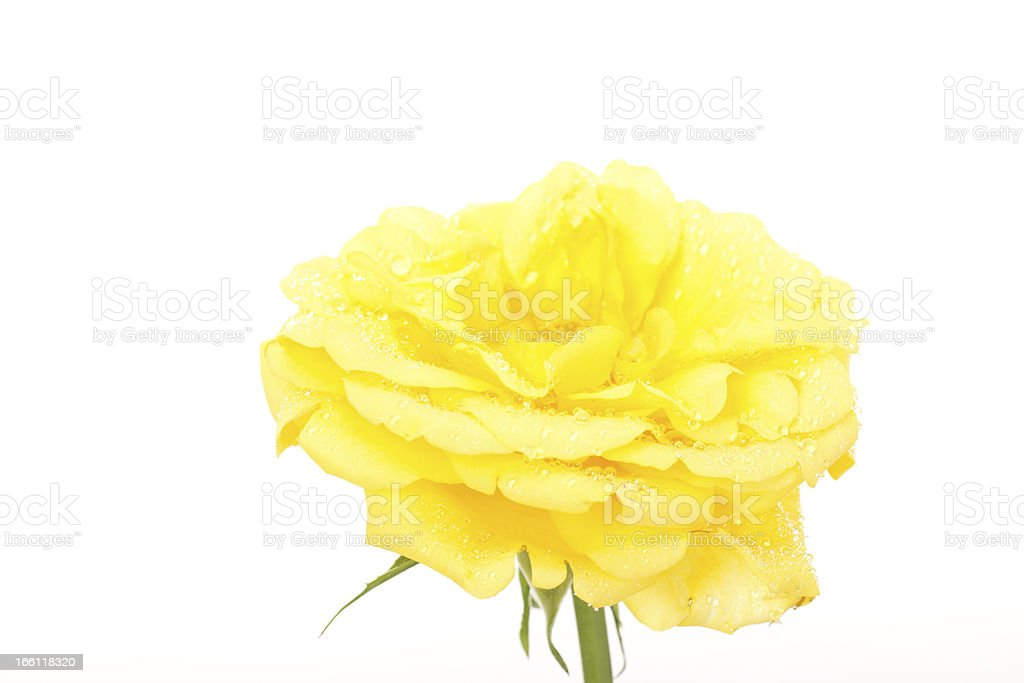 Beautiful yellow rose with water drops royalty-free stock photo