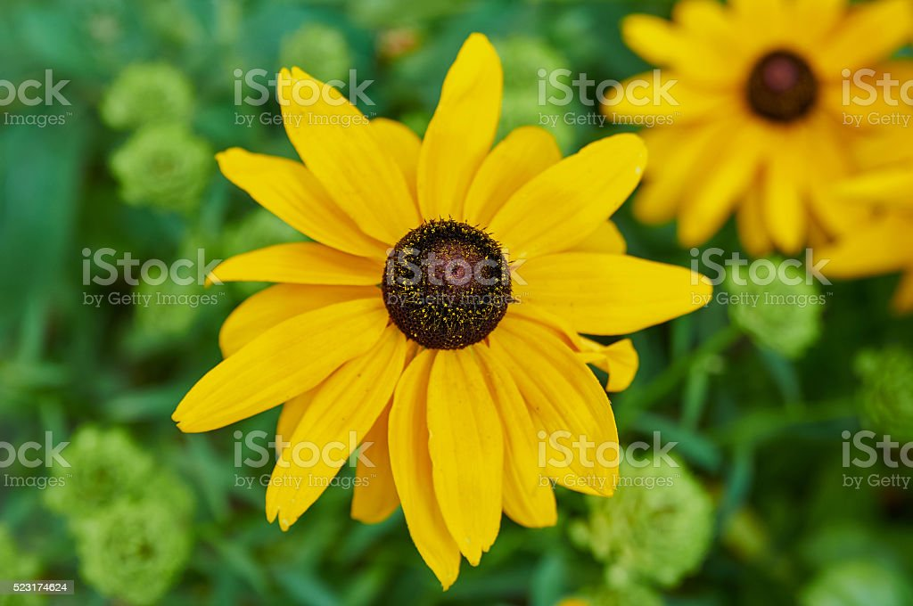 Beautiful yellow rudbeckia flower stock photo