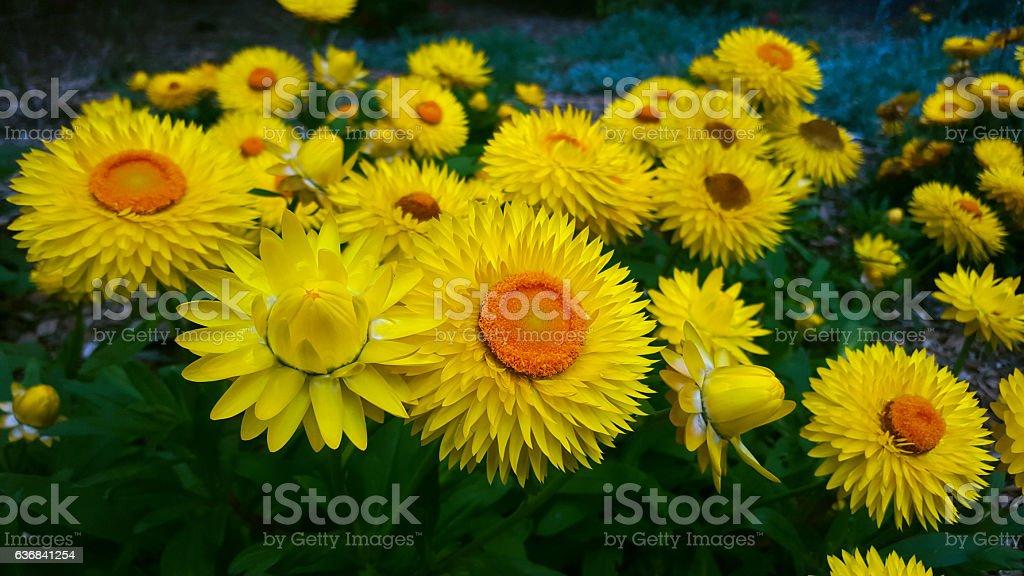 Beautiful yellow straw flower, Royal Botanic Gardens, Sydney, Australia stock photo