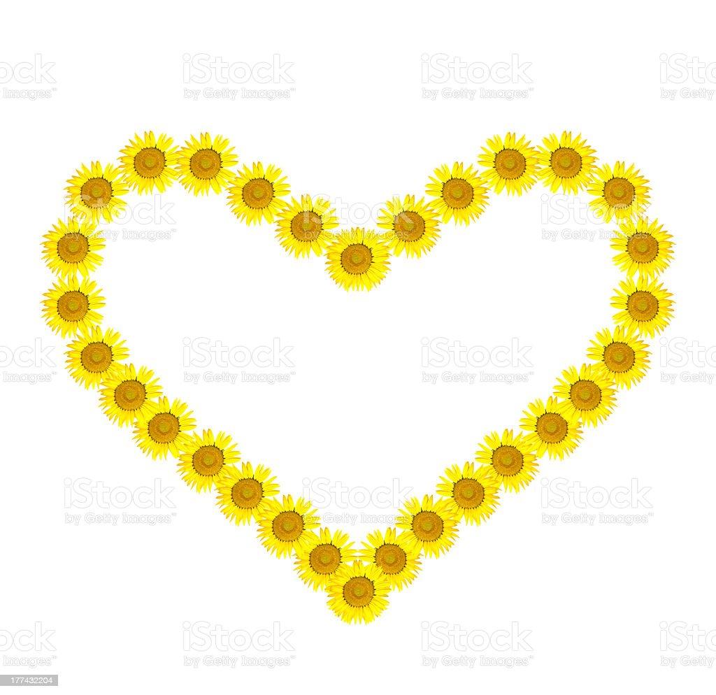 Beautiful yellow Sunflower heart isolated on white background stock photo