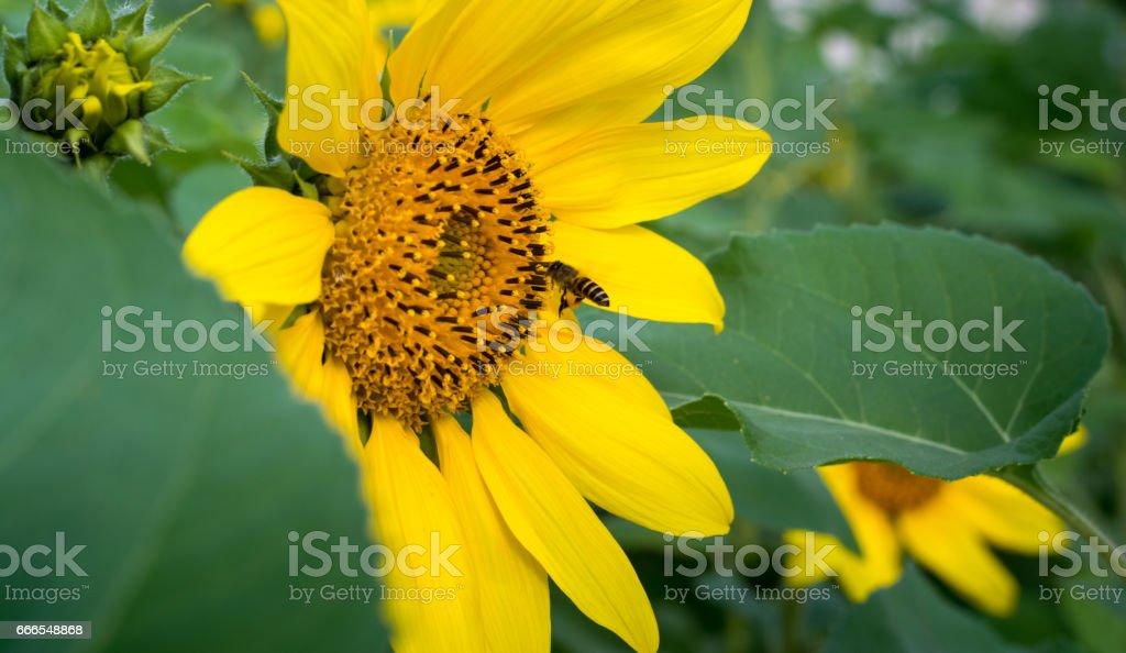 beautiful yellow Sunflower petals closeup and bee stock photo