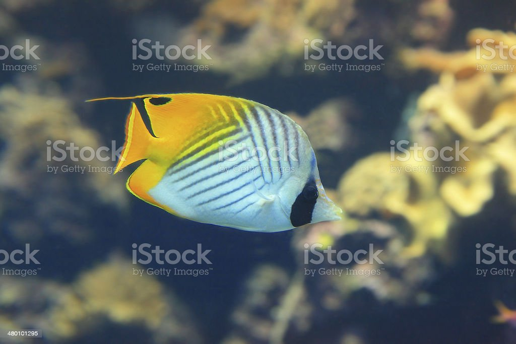 Beautiful yellow tropical fish royalty-free stock photo