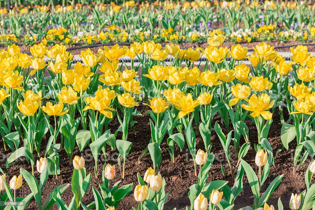 Beautiful yellow tulips in flowers garden. stock photo
