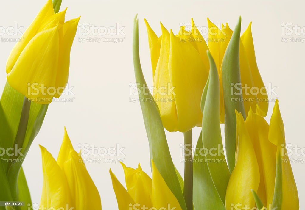 Beautiful Yellow Tulips royalty-free stock photo