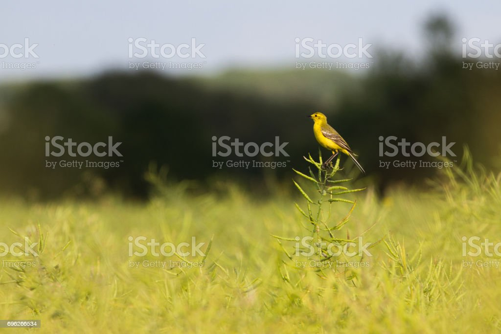 Beautiful Yellow Wagtail (Motacilla flava) perched in rapseed field stock photo