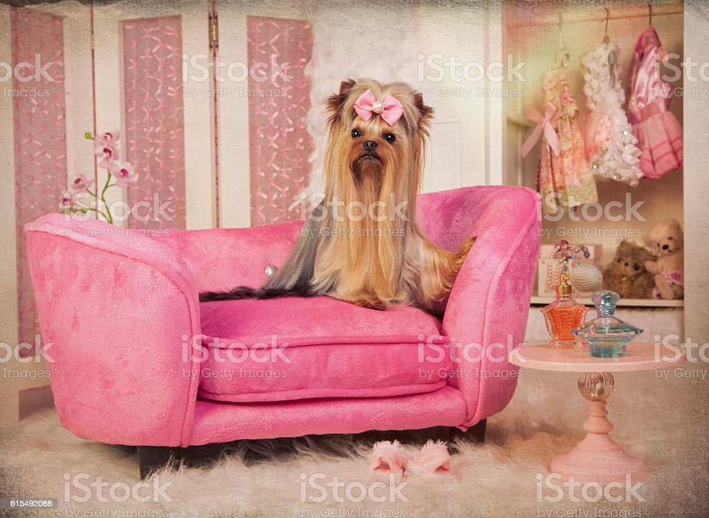 Beautiful Yorkshire terrier lying on a pink lounge chair in her...