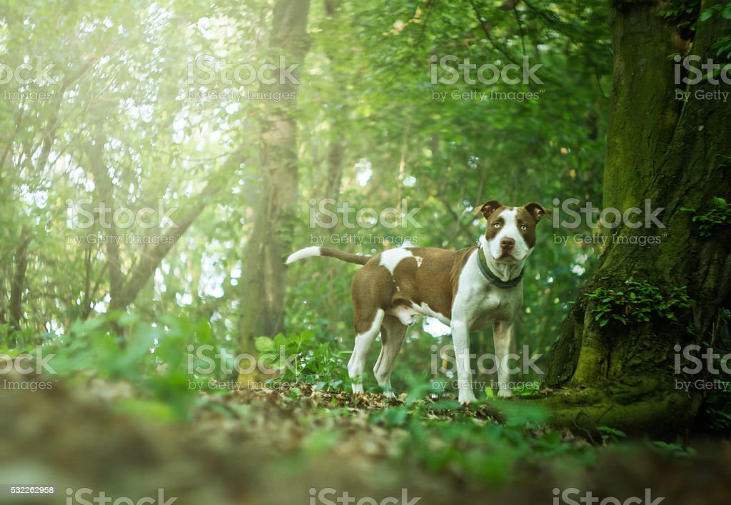 beautiful young and vital puppy breed American Pit Bull Terrier stock photo