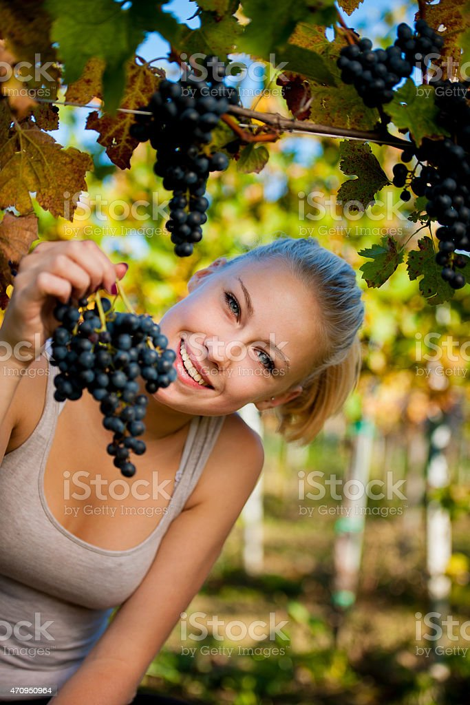 Beautiful young blonde woamn harvesting grapes in vineyard stock photo