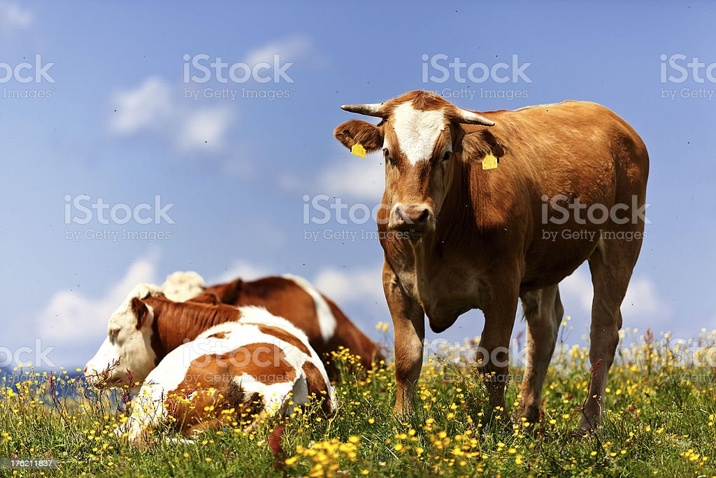 beautiful young bull looking at camera (Alps / Austria) royalty-free stock photo