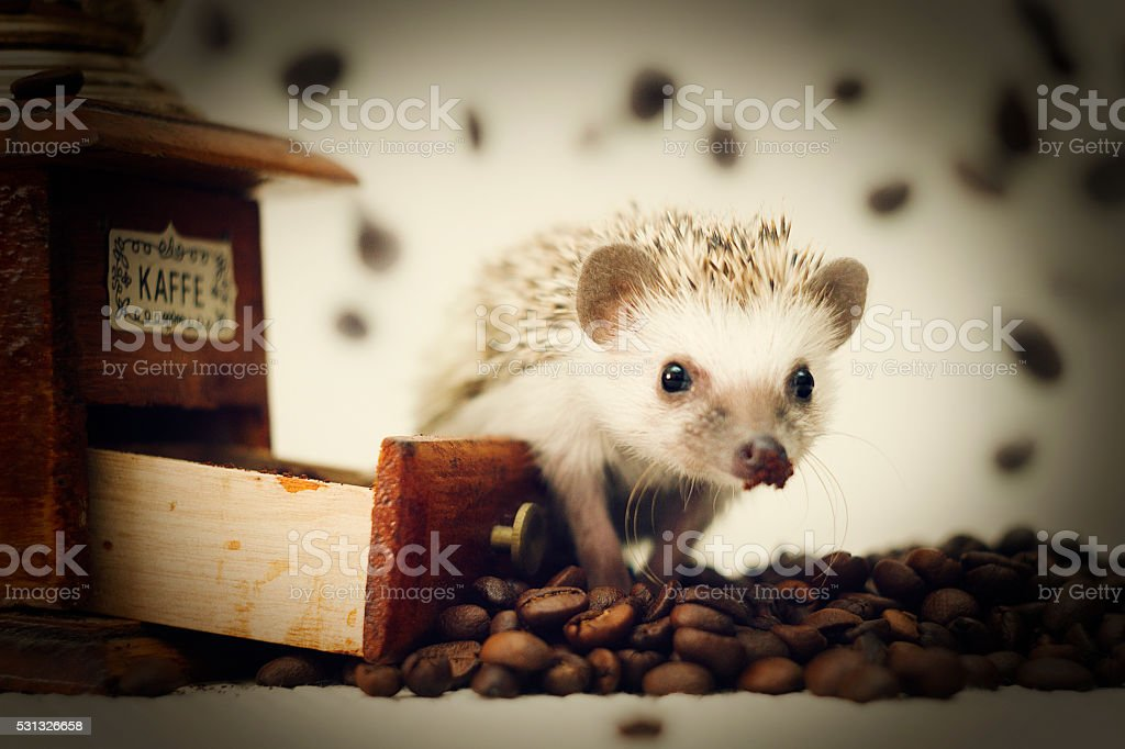 beautiful, young, cheerful, happy, healthy  African pygmy hedgehog stock photo