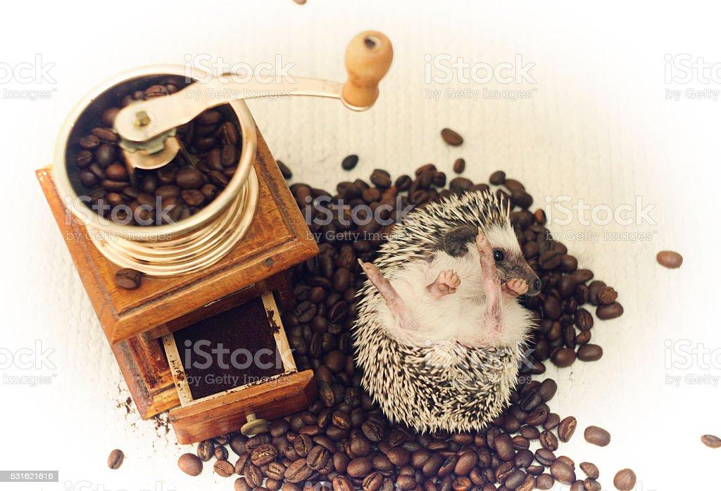 beautiful, young, cheerful, happy, healthy hedgehog coffee stock photo