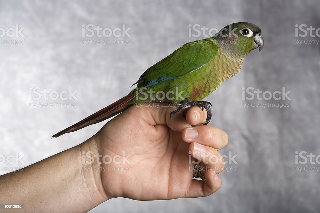 Beautiful Young Conure Perched on a Hand stock photo