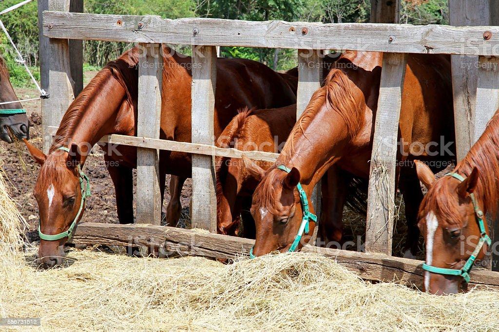 Beautiful young horses sharing hay on horse farm stock photo