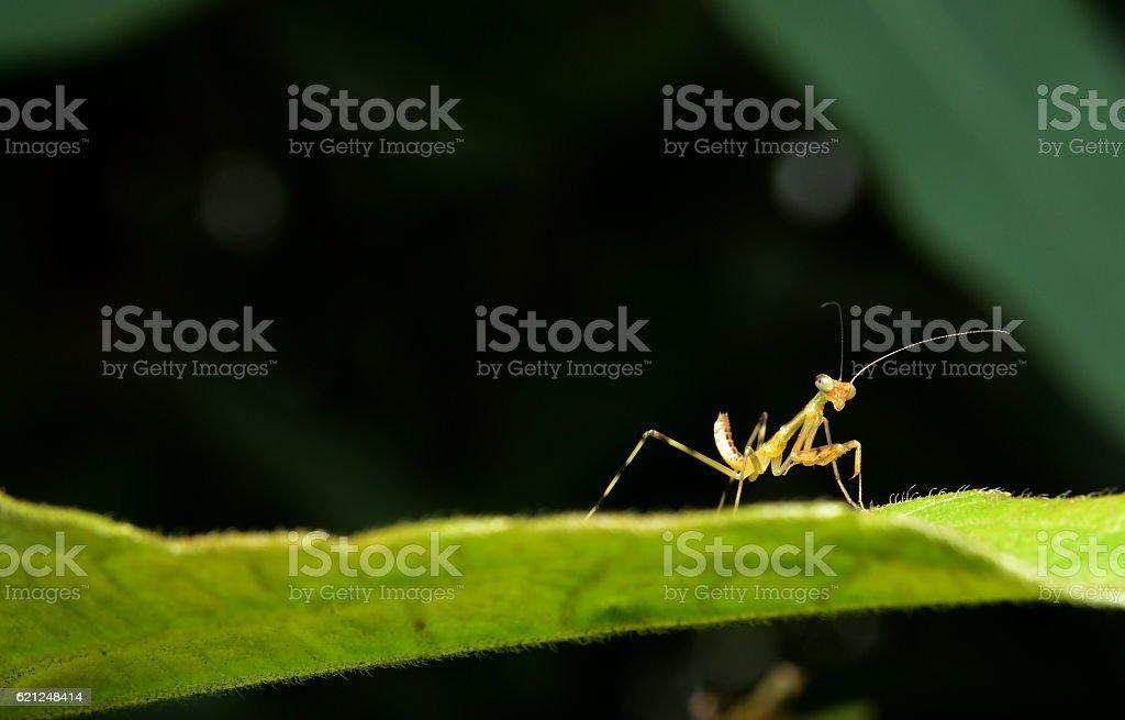 Beautiful young Praying Mantis - Mantis religiosa stock photo