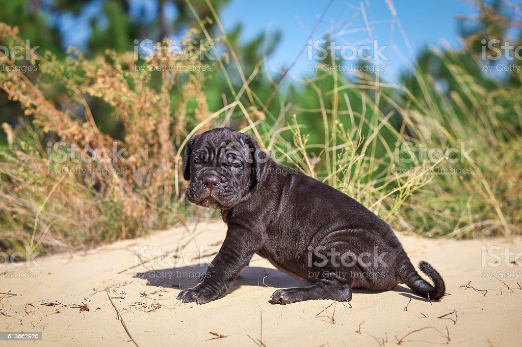Beautiful young puppy italian mastiff cane corso (1 month) sitti stock photo