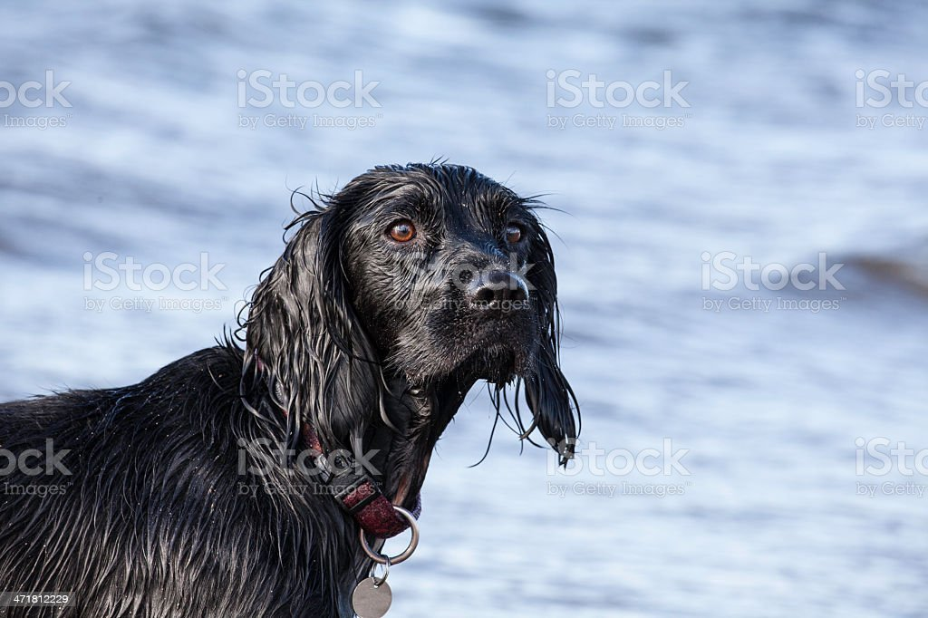 Beautiful Young Spaniel royalty-free stock photo