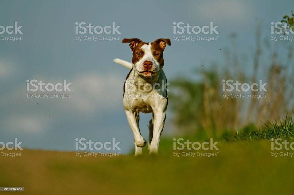 beautiful young  vigorous puppy breed American Pit Bull Terrier stock photo