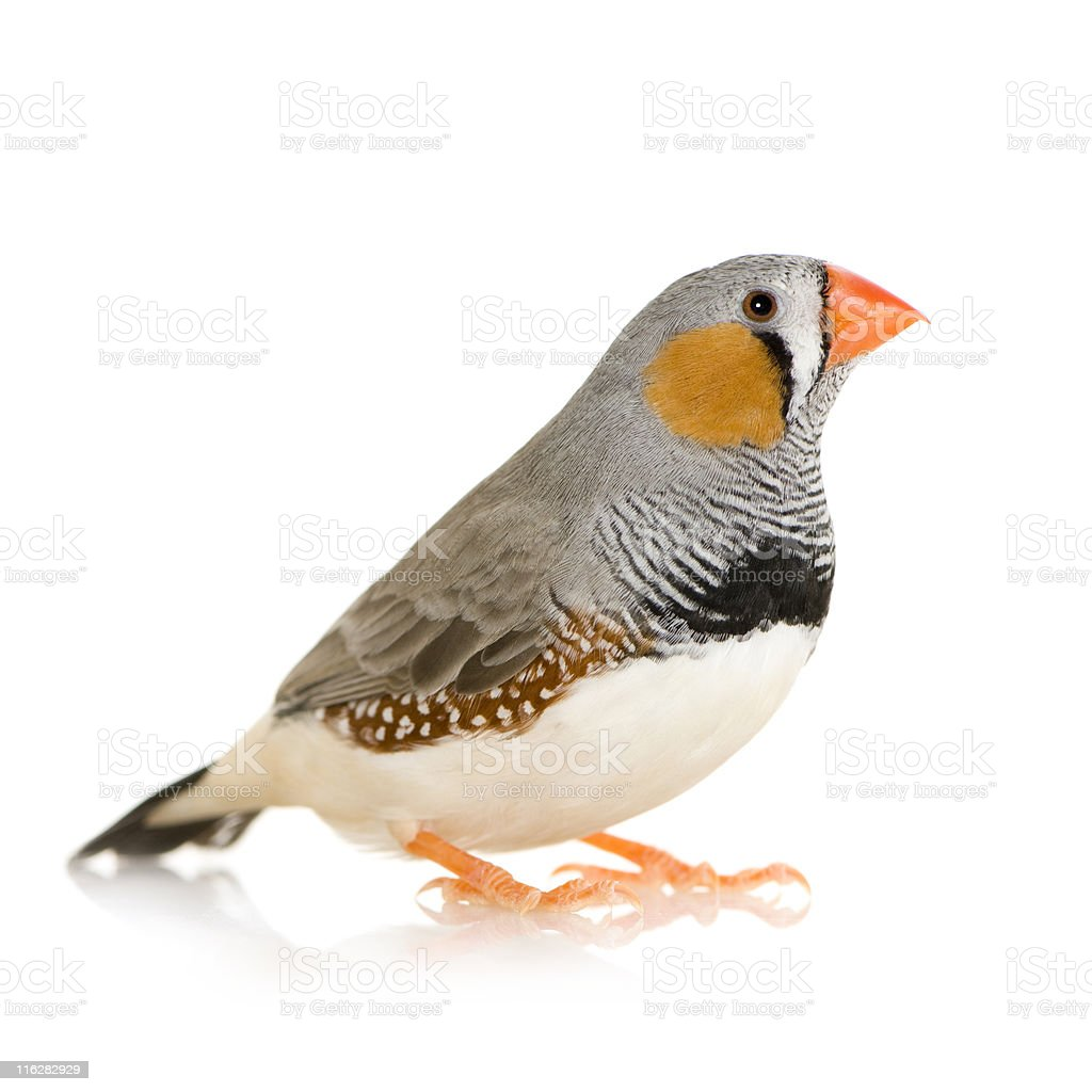 A beautiful zebra finch taeniopygia guttata royalty-free stock photo