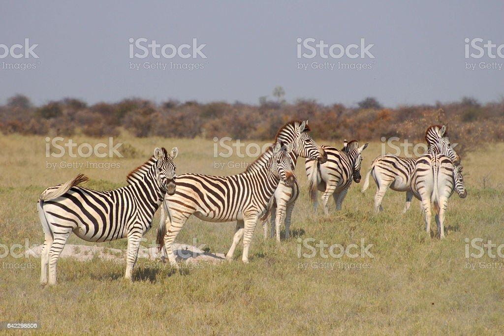 Beautiful Zebra Herd in the savannah of Botswana stock photo