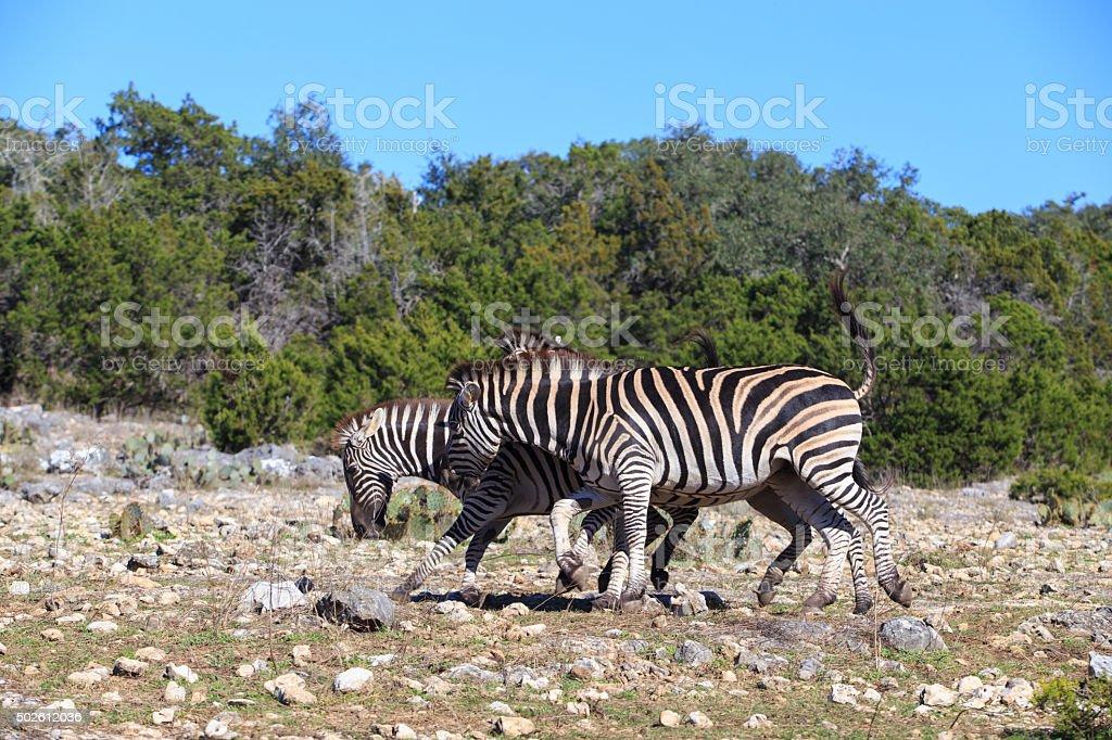 Beautiful zebra in Natural bridge wildlife range royalty-free stock photo