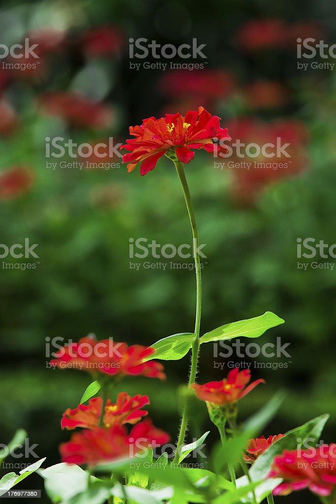 Beautiful zinnia. royalty-free stock photo
