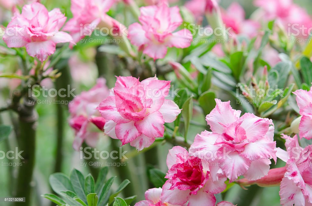 Beautifull adenium obesum flowers. It's called as sabi star stock photo