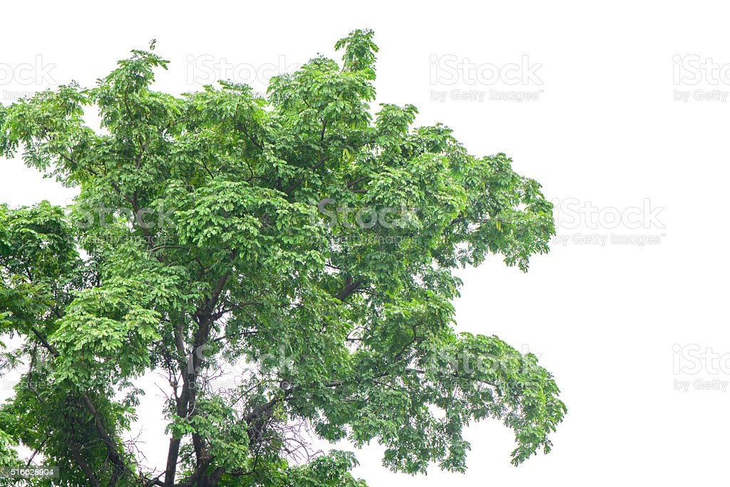Beautifull green tree on a white background. stock photo