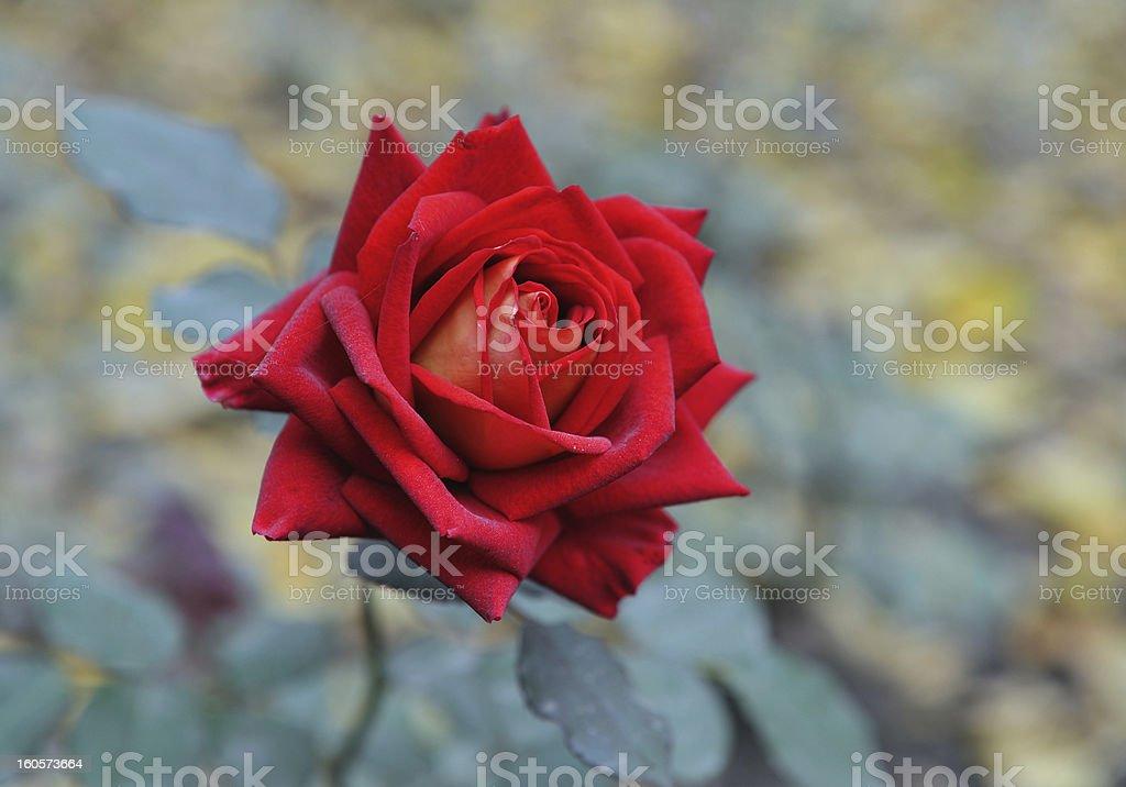 beautifull rose stock photo