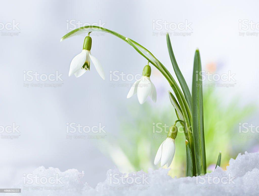 Beautifull Spring snowdrop flowers stock photo