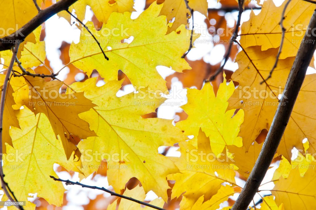 Beautifully colored yellow leaves stock photo
