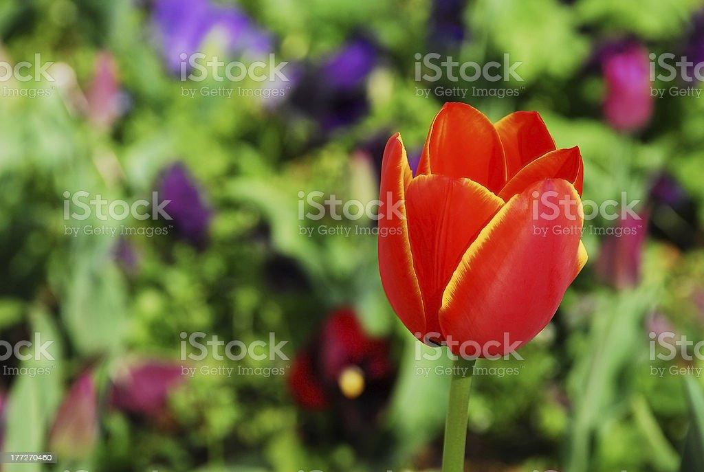 BeautifulTulip stock photo