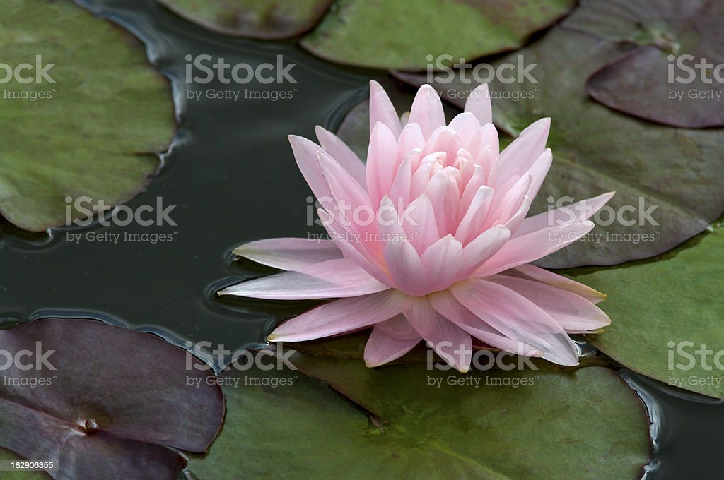 Beautuful pink water lily royalty-free stock photo