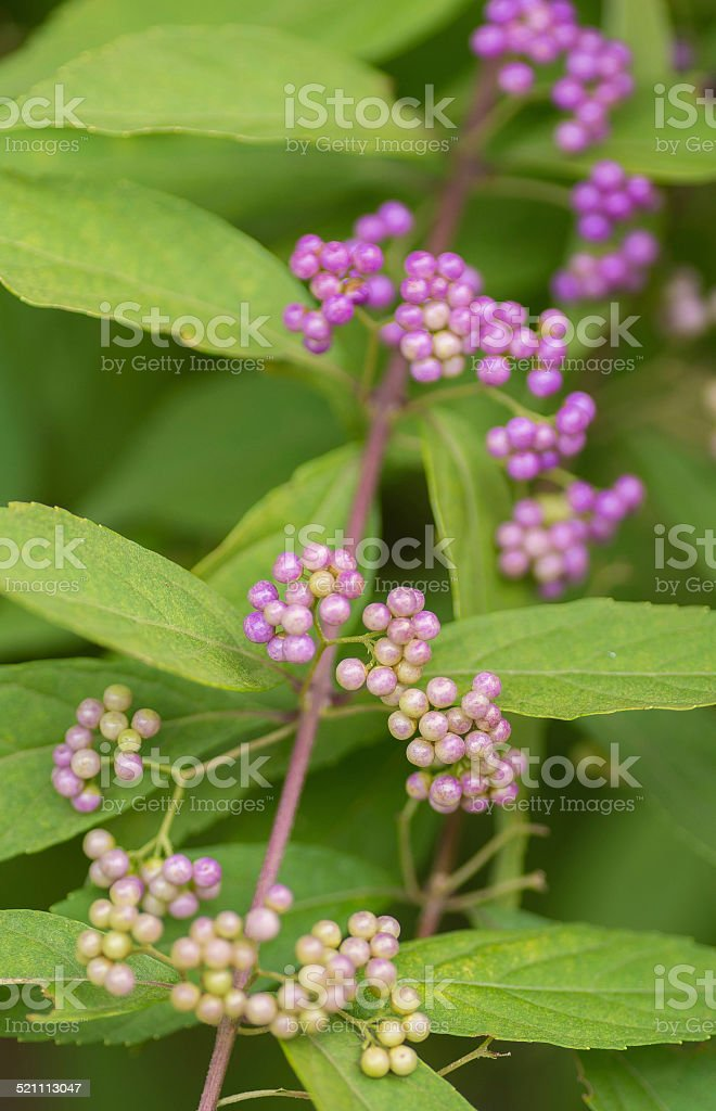 Beauty berry stock photo