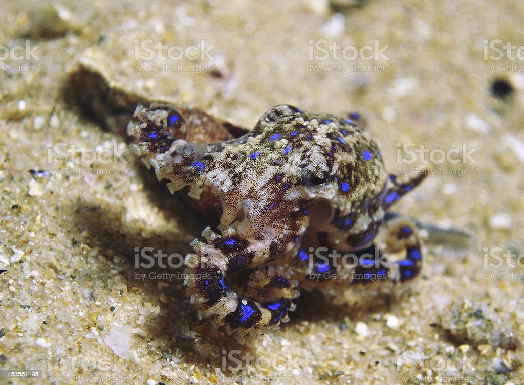 Beauty but deadly Blue Ringed Octopus royalty-free stock photo