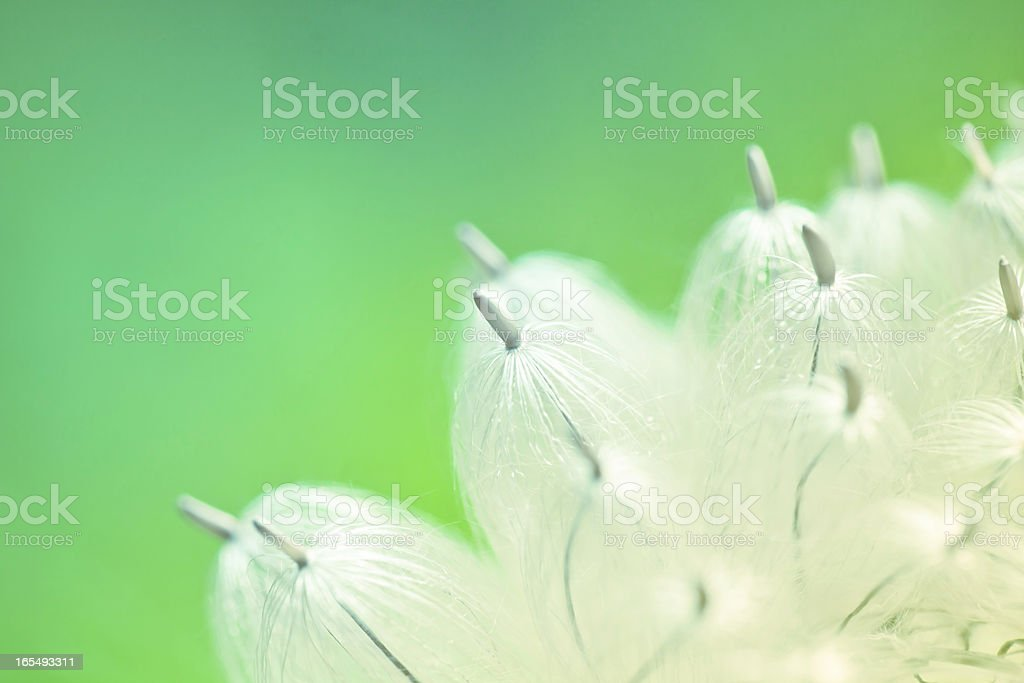 beauty dandelion stock photo