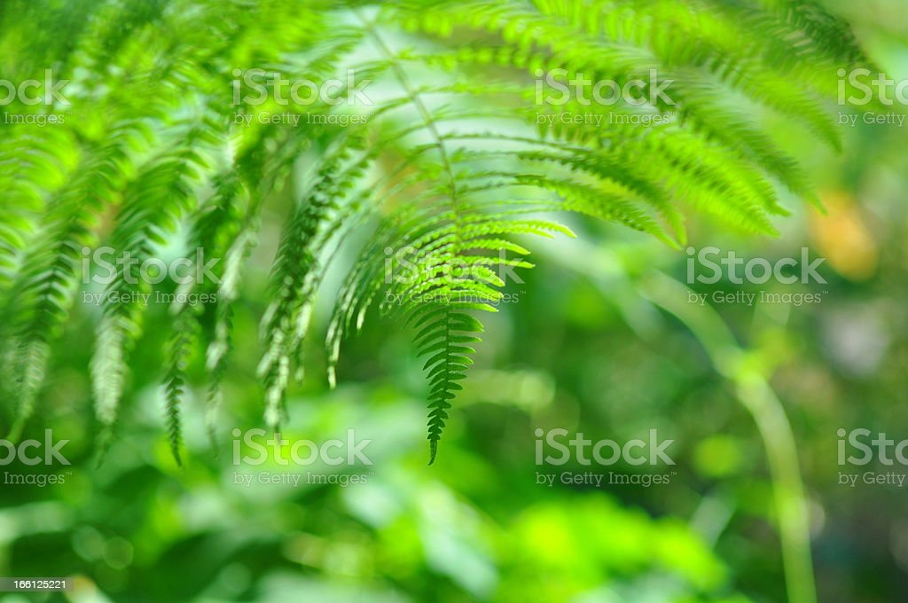 Beauty - fern in sunny forest royalty-free stock photo