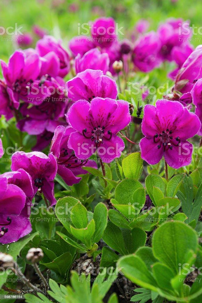 Beauty flowering Rhododendron camtschaticum stock photo