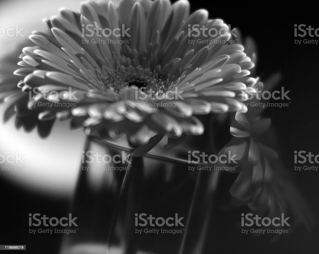 Beauty gerbera flower stock photo