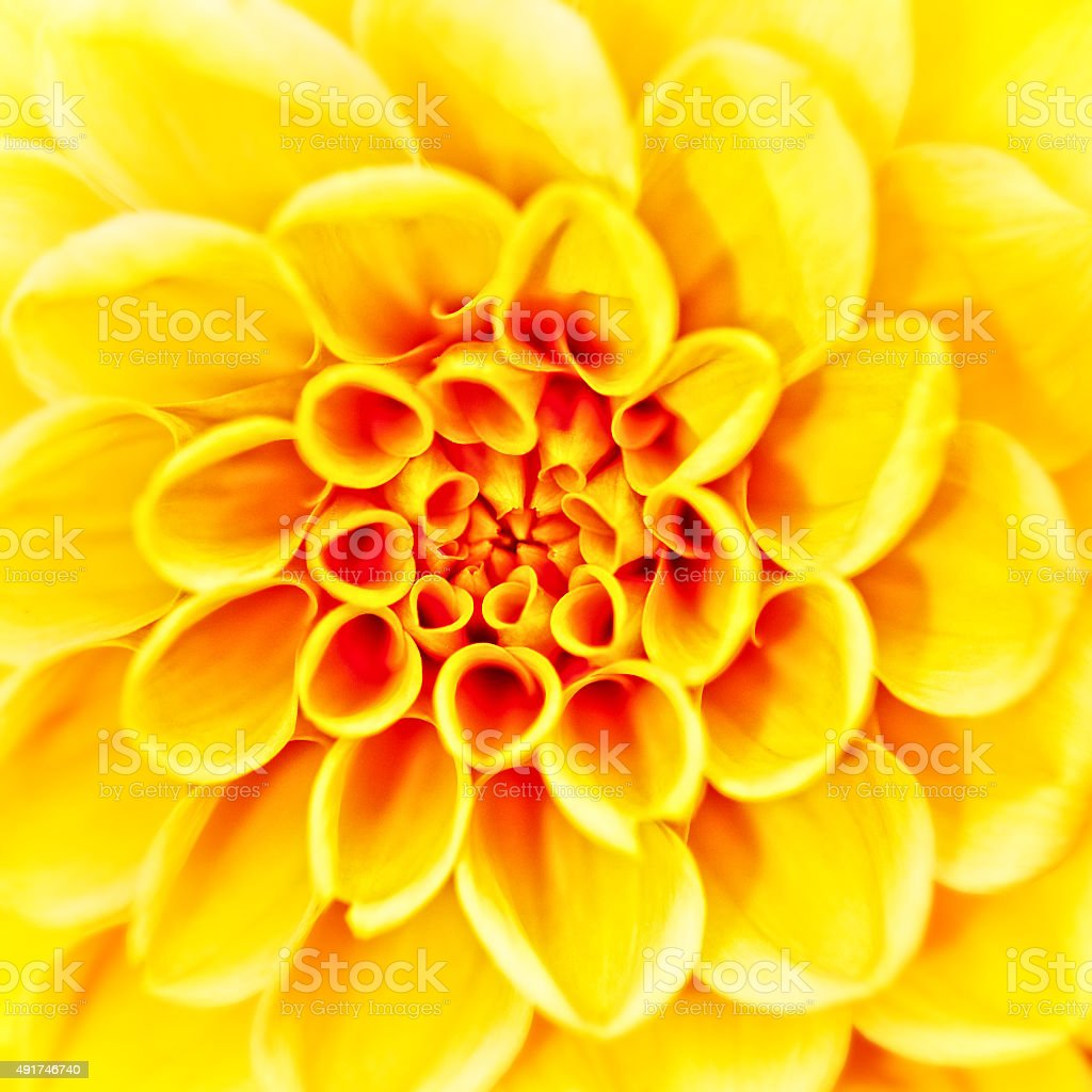 Beauty herbera flower, abstract neutral backgrounds stock photo